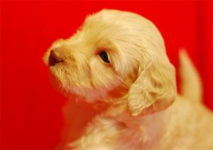 Cream Puppy on Red Background