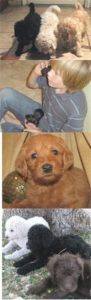 Labradoodle Puppy Collage