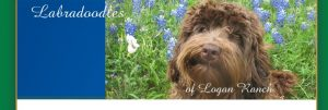 Chocolate Australian Labradoodle in Blue Bonnets