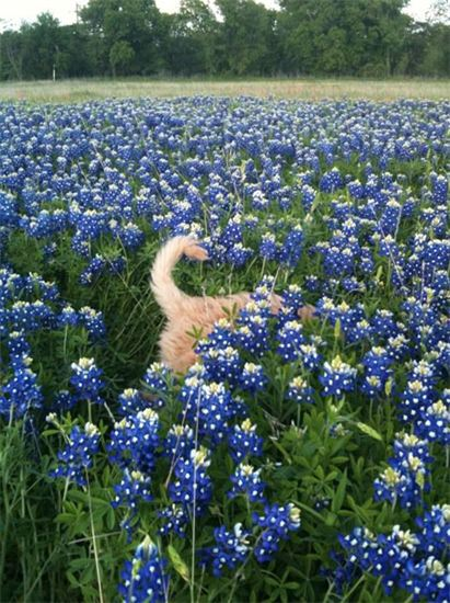 Livvy, Cream Labradoodle in the Blue Bonnets