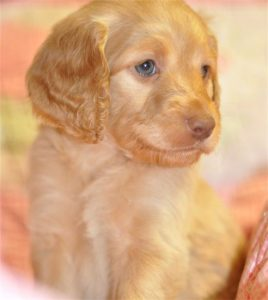 Blue Eyed Beauty. Australian Labradoodle Puppy