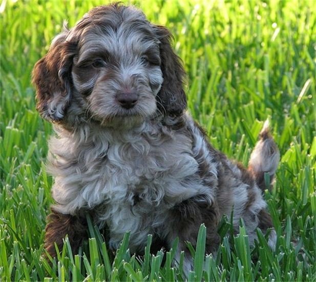 Labradoodle Puppies For Sale | Labradoodles of Logan Ranch