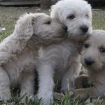 Adorable Australian Labradoodle puppies