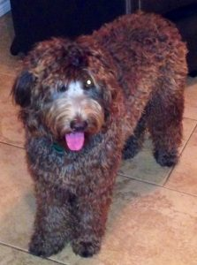 Scout. Chocolate Australian Labradoodle Dam