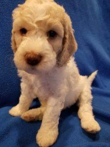 Cream, Australian Labradoodle Puppies