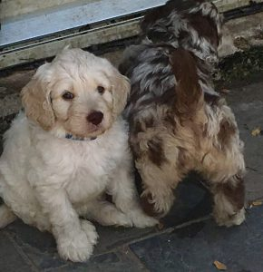 Cream and Chocolate Merle Australian Labradoodle Puppies