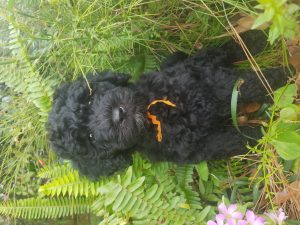 Black, Australian Labradoodle Puppy