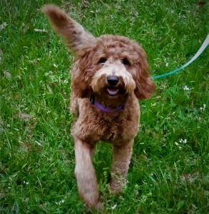Murphy, Red Australian Labradoodle Sire