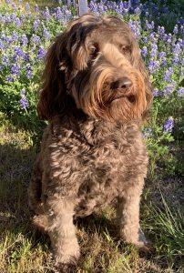 Scout, Australian Labradoodle