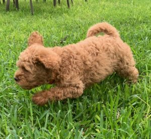 Red, Australian Labradoodle Puppy