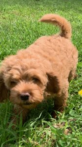 Australian Labradoodle Puppy