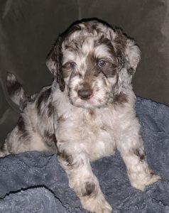 Chocolate Merle, Australian Labradoodle Puppy