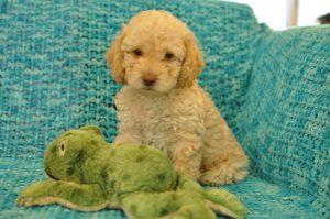Cream, Australian Labradoodle Puppy